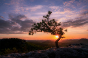 Weather pine at sunset